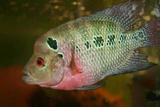 Jenis Jenis Ikan Louhan Serta Sejarahnya Djoglo Fish