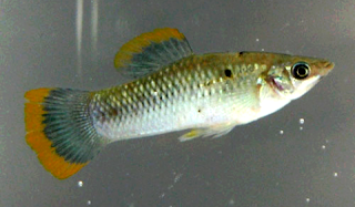 Jenis Ikan Molly Wild Green Sailfin