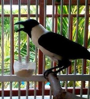 Suara Burung Gagak Sulawesi
