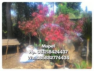 Tukang Taman penjual tanaman mapel daun merah harga murah