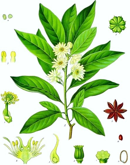 Growing Hermione's Garden: Illicium verum - Star Anise