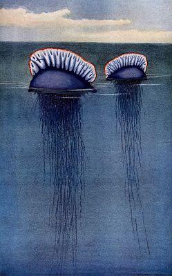 Fisalia. Dos fisalias en el agua, con los tentáculos sumergidos.