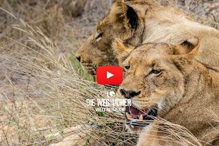 5 Five Afrikas Löwen, Zebras, antilopen, Nashörner, Giraffen im Kruger National Park Safari