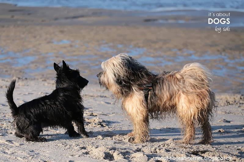 Tibet Terrier Chiru und ein fremder Hund begrüssen sich vorsichtig am Strand.