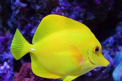Karakter dan Jenis Makanan Ikan Hias Air Laut Yellow Tang