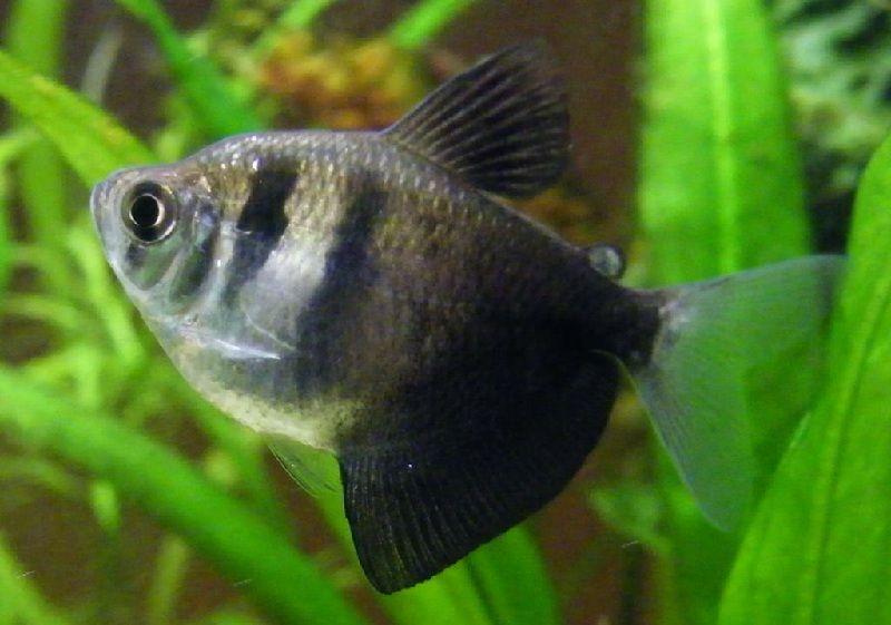 ikan tetra hitam