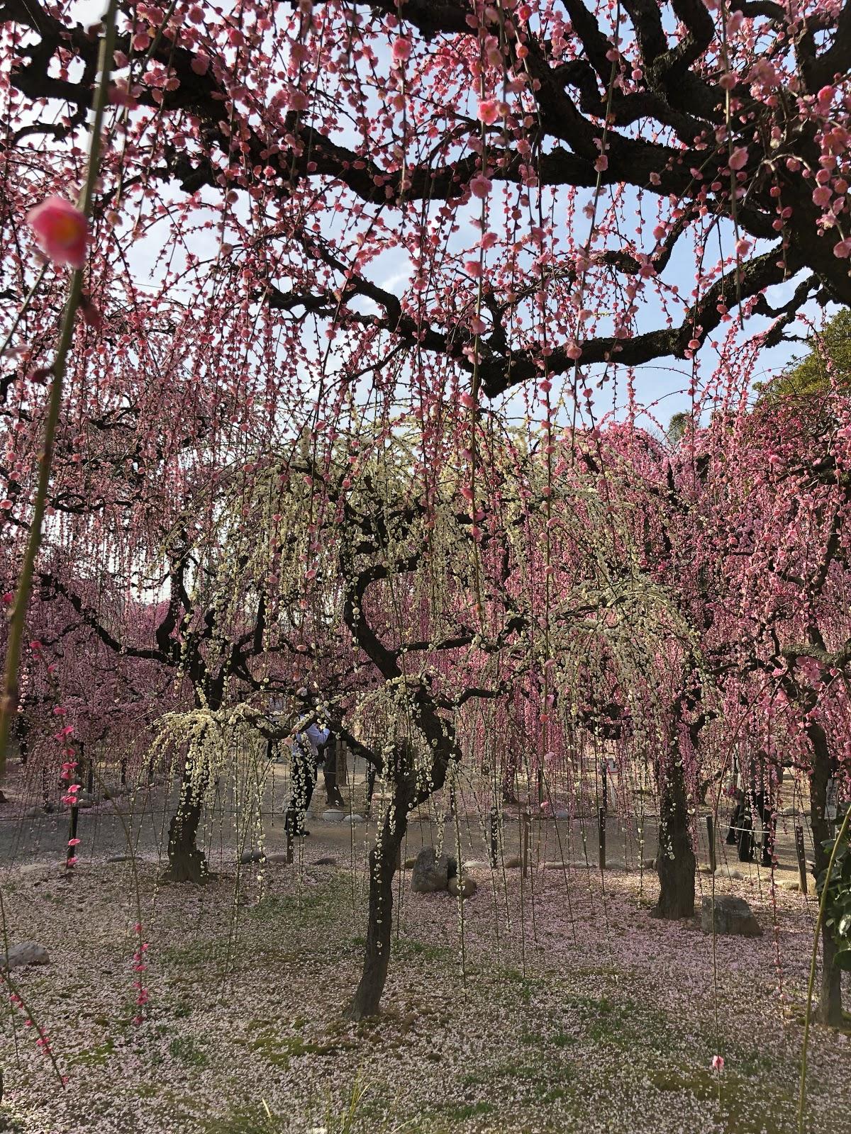 結城神社にて梅を見学