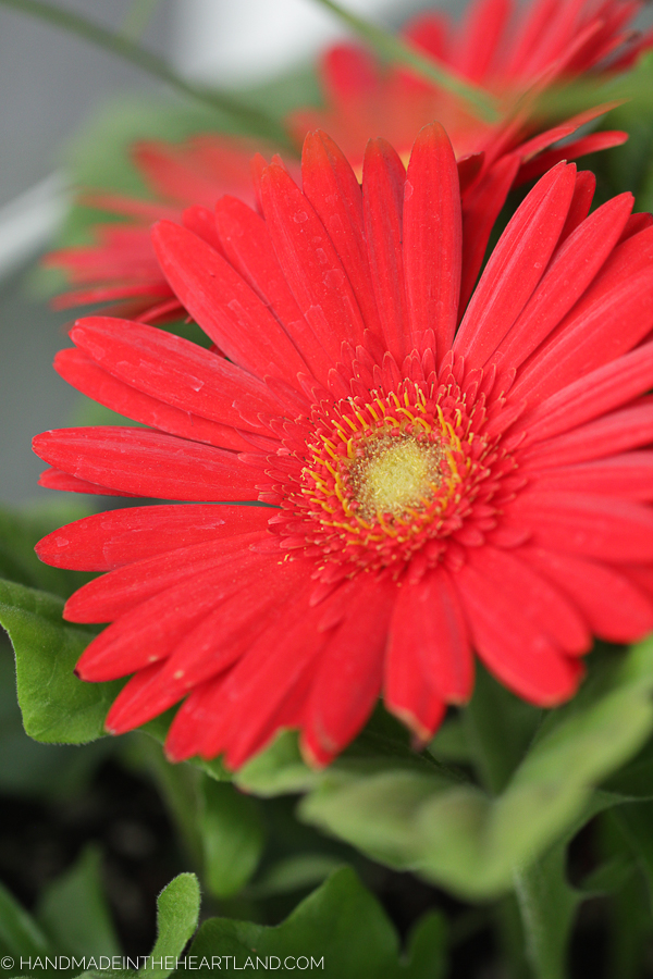 Macro photography photo of red gerber daisy