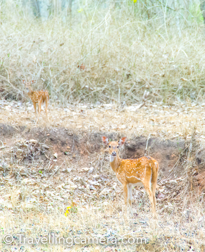 Above photograph shows the most common deer you see in all wildlife sanctuaries in India.