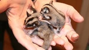 Best Tips To Take Care Of  A Sugar Glider To Be Healthy - Coloring Pages