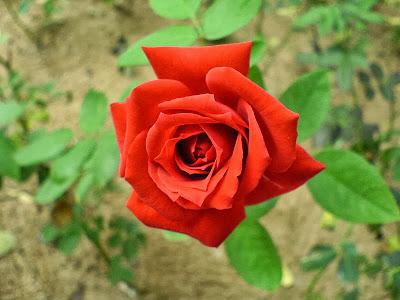 Red rose natural red rose