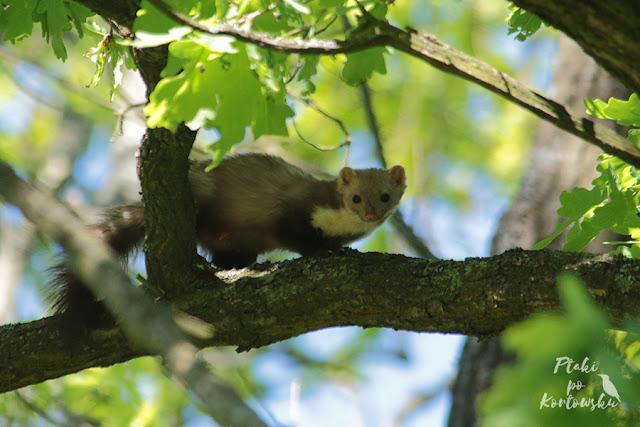 Kuna obserwująca mnie z górnej gałęzi dębu