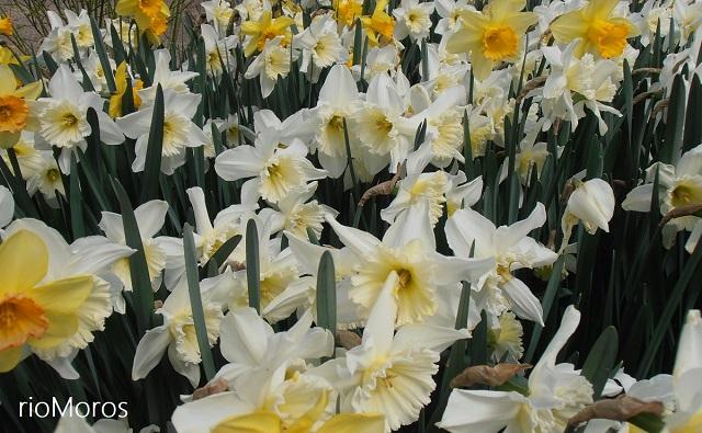 """NARCISO Las Vegas en floración Narcissus sp. """"Las Vegas"""""""