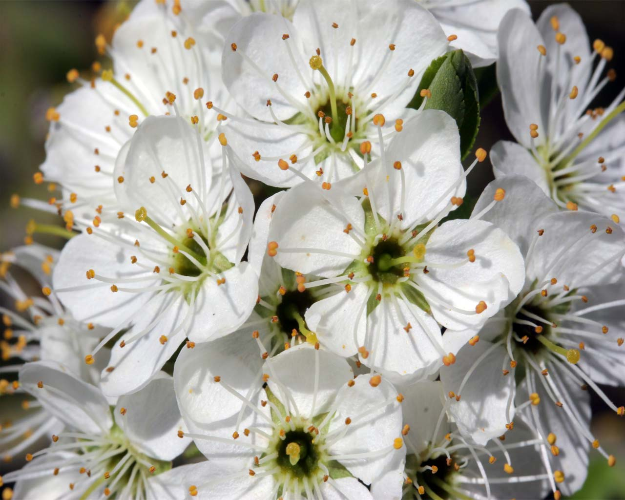 Hawthorn Blossom Flower Wallpaper: Desktop HD Wallpapers: The Right Way To Clean Silk Flowers
