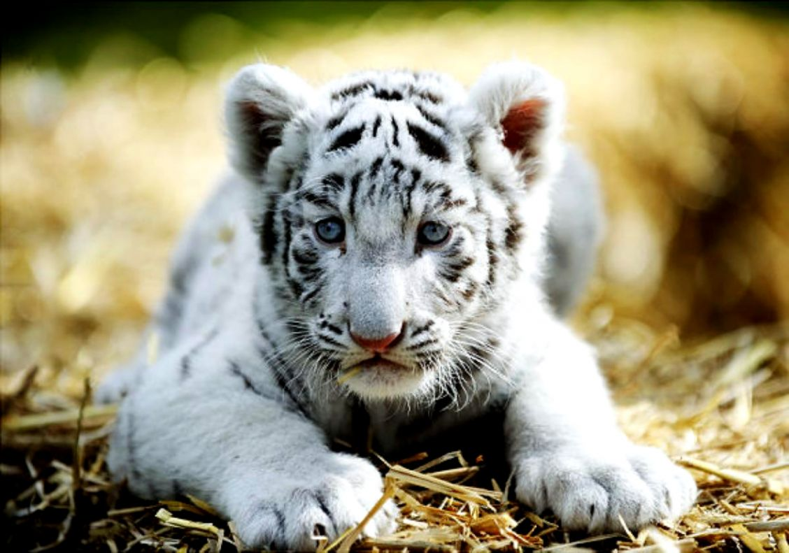 Really Cute Baby White Tigers All Wallpapers Desktop