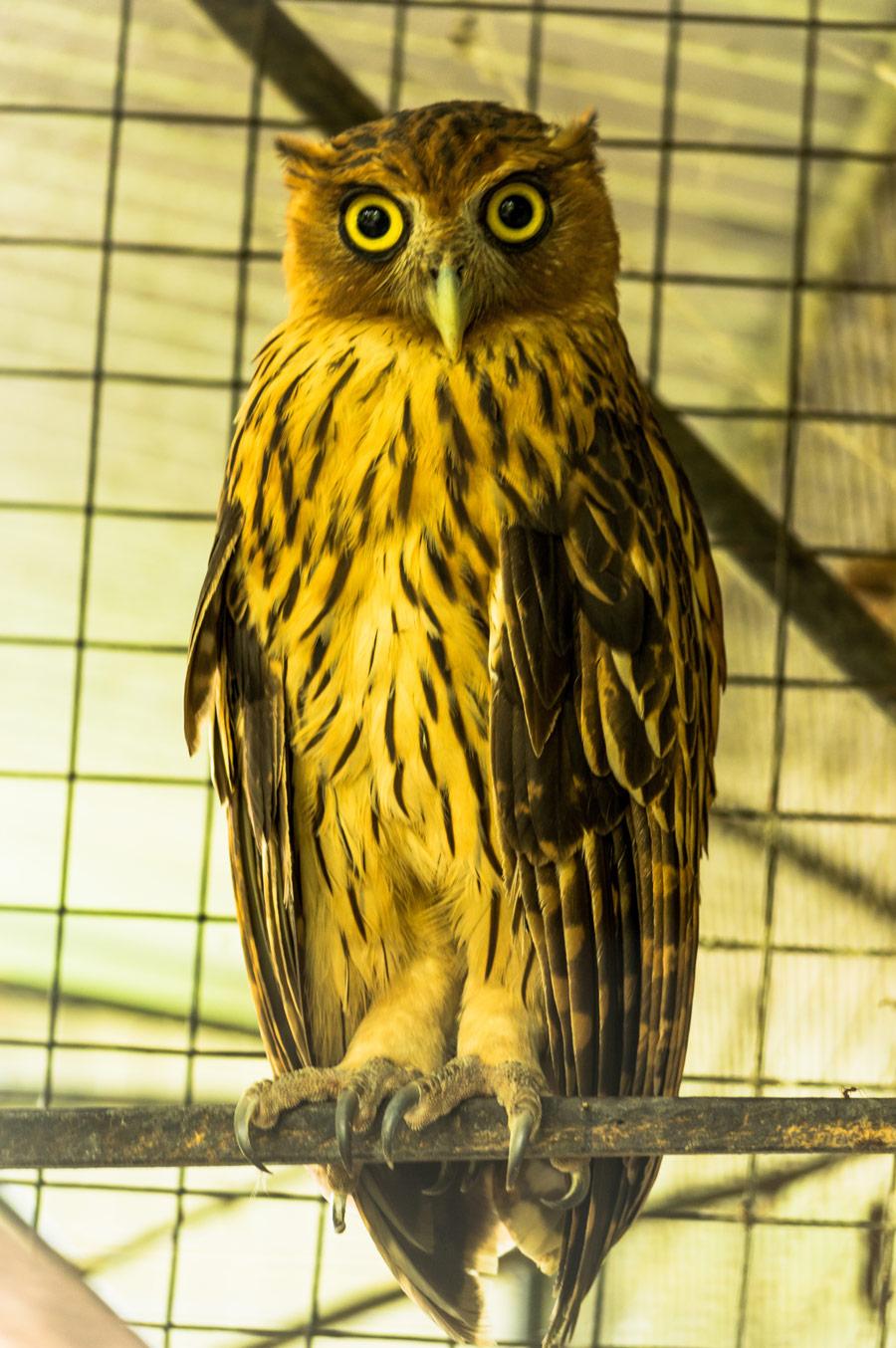 Philippine Eagle Owl Botolan Wildlife Farm