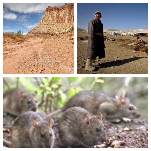 MONGOLIA EN ALERTA: Sequía Extrema , Plaga De Ratas Y Muerte De Ganado.
