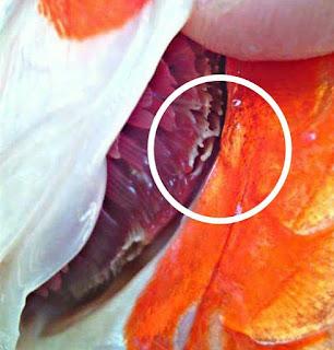 Jenis penyakit ikan koi dan cara mengatasinya