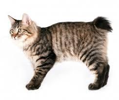 Kucing Kurilian Bobtail dan Karakteristiknya