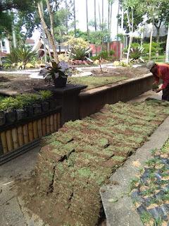 Rumput jepang kampus STIE MALANG KUCECWARA dari lahan kita tahun 2021