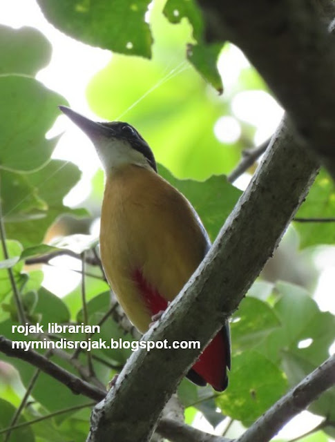 Mangrove Pitta in Ubin