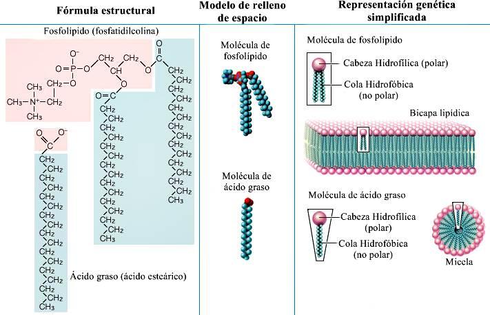 Ácido esteárico: estructura y propiedades Estructura y propiedades de dos lípidos representativos