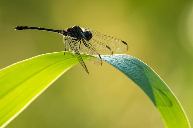 Dragonfly, LLELA