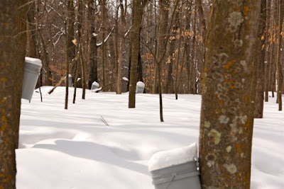 sugarbush in snow