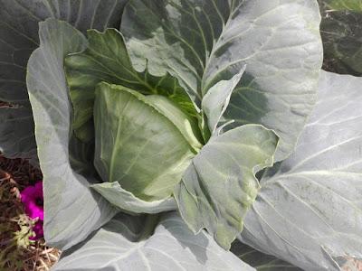 Programmare l'orto per l'estate: seminare i cavoli a maggio.