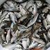 Cara Ampuh Memancing Ikan Wader Agar Dapat Banyak