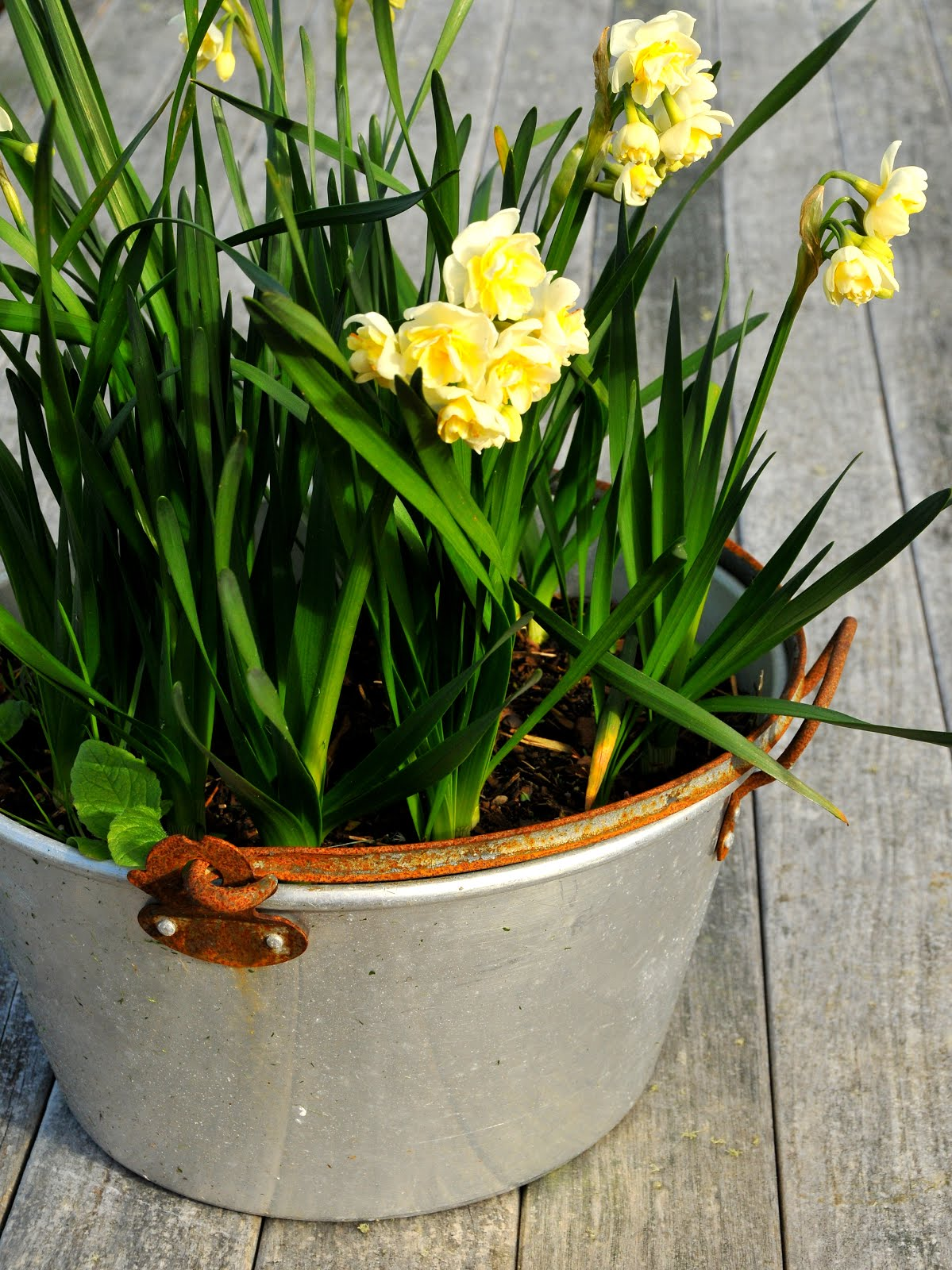 Daffodils in Gramma's old jam making pot