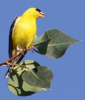 Photograph of American Goldfinch by Darla Sue Dollman