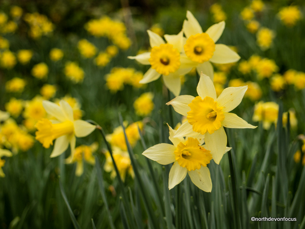 Daffodil Days. Photo copyright Pat Adams North Devon Focus