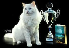 gambar kucing Aphrodite