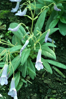Primulina longgangensis - Chirita longgangensis