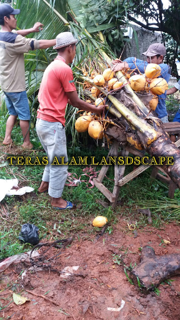 tukang pohon kelapa gading kuning