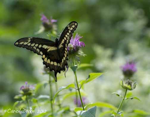 Giant Swallowtail (Papilio cresphontes) In Flower Hill Farm Gardens
