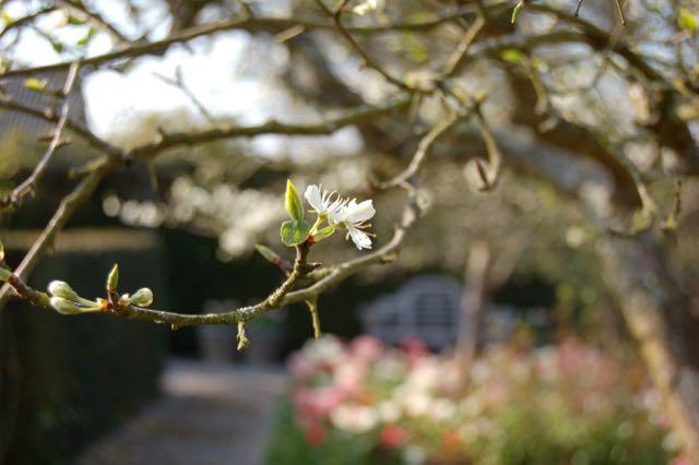 Pruimen bloesem, tulpen Flaming Purissima