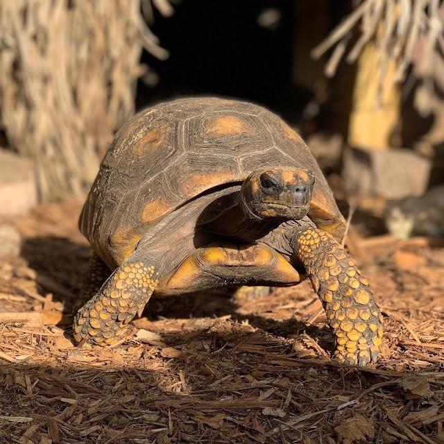 Rùa Chân Vàng - Yellow Foot Tortoise