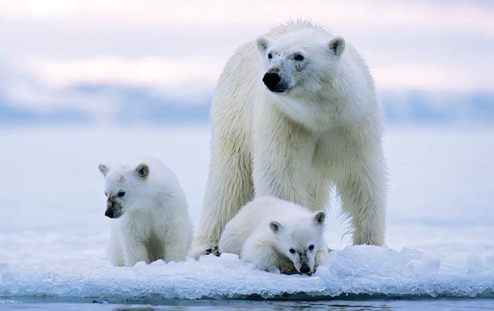 Mengapa Bulu Beruang Kutub Berwarna Bening?