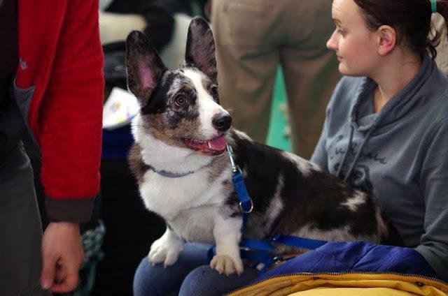 welsh corgi cardigan, wystawa, wystawa psów, podróże z psem, pies, Biba, champion