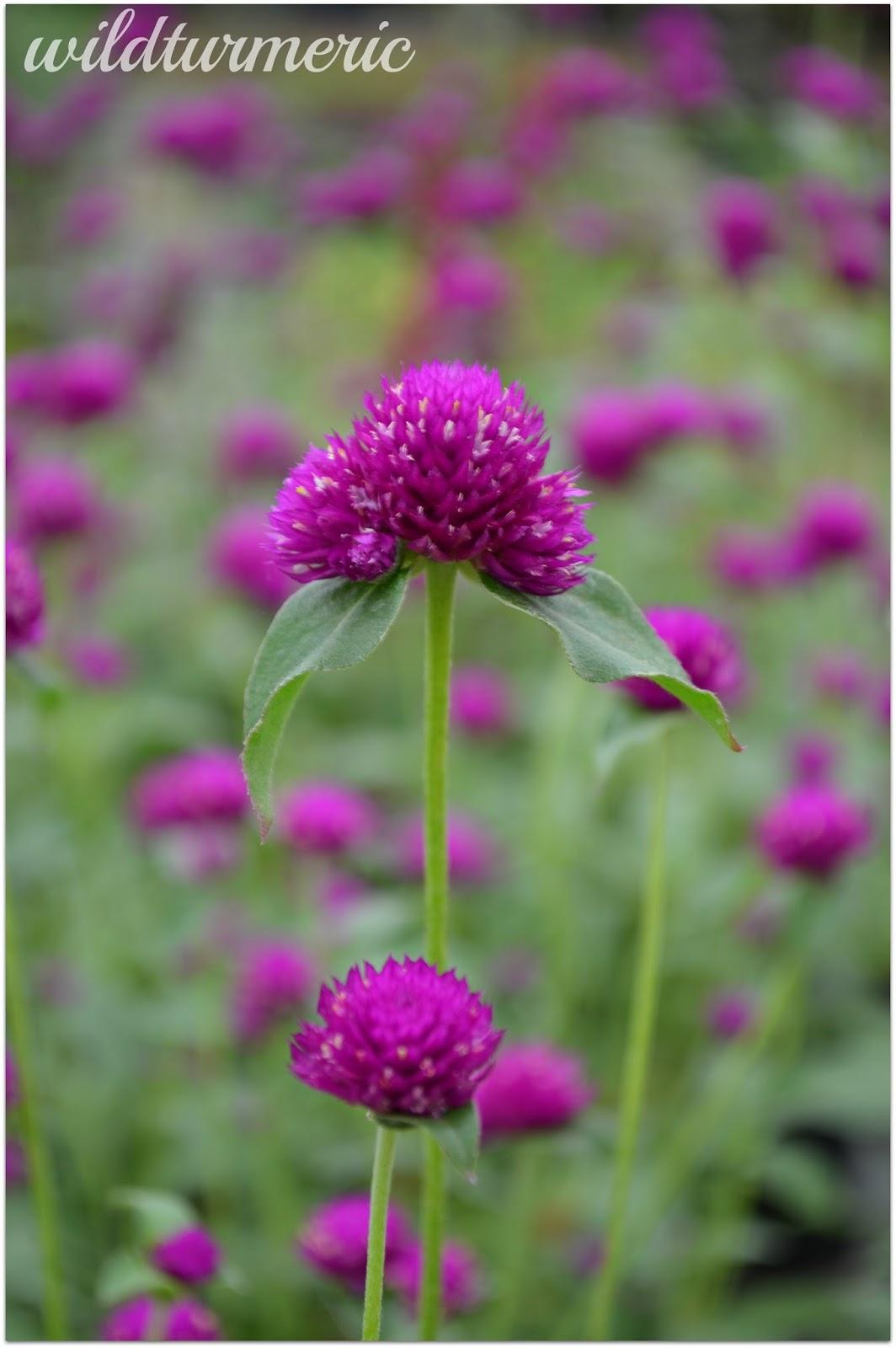 5 Top Medicinal Uses Of Gomphrena Globosa | Globe Amaranth (Vadamalli)