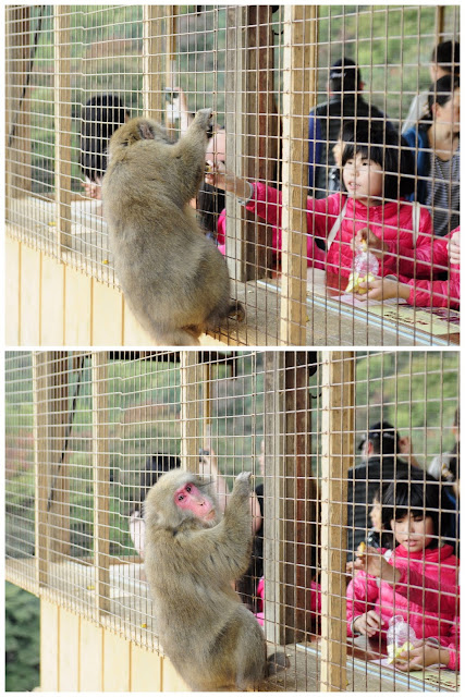 Feeding the monkeys at Iwatamaya monkey park