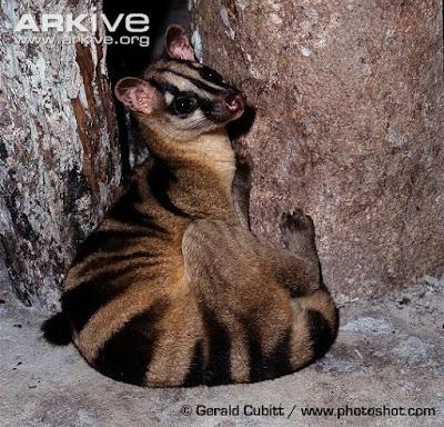 Hemigalus derbyanus