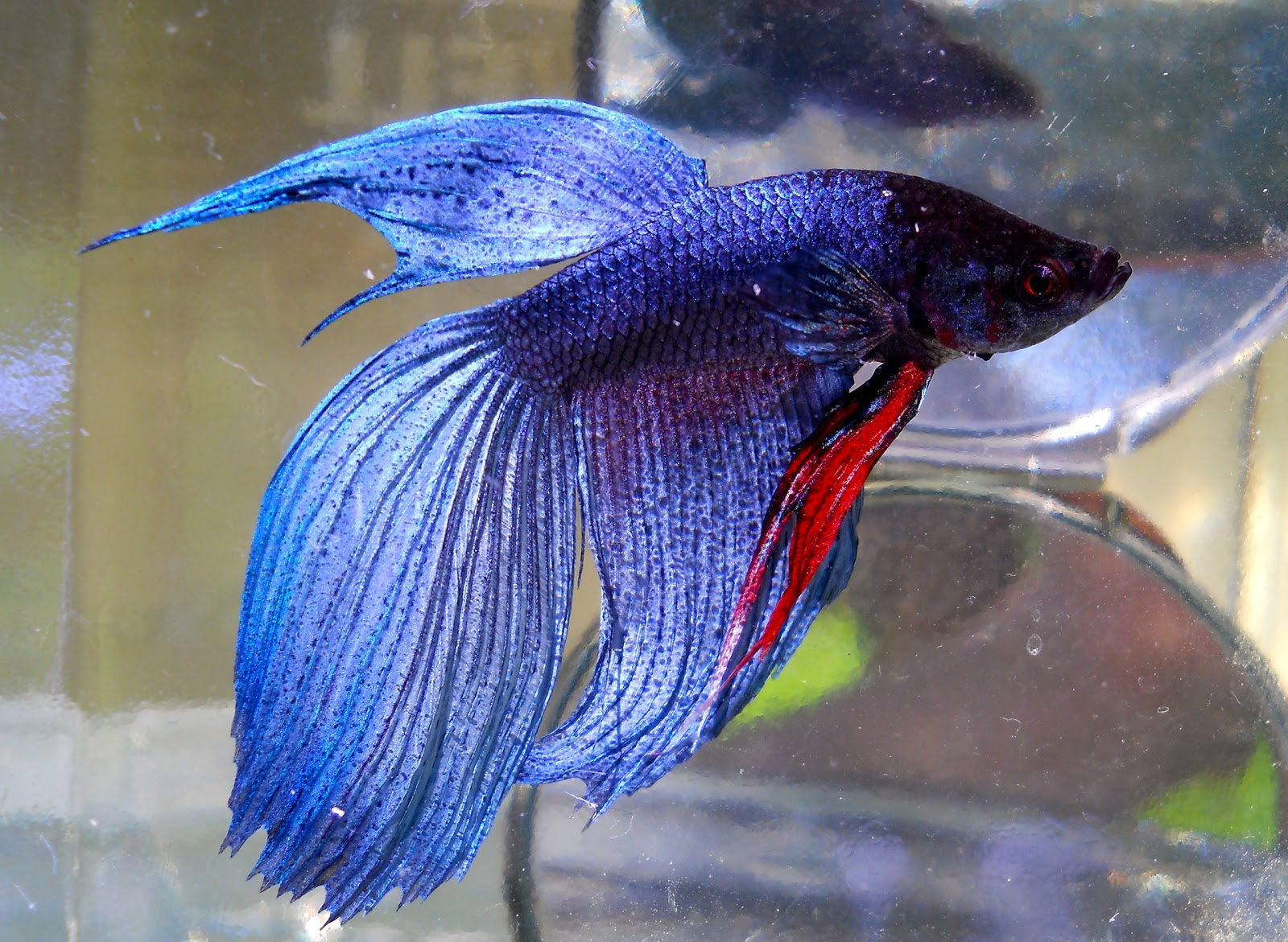 Blue Half-Moon Betta : pics