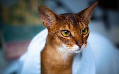 Tüyü Dökülmeyen Kedi Irkları