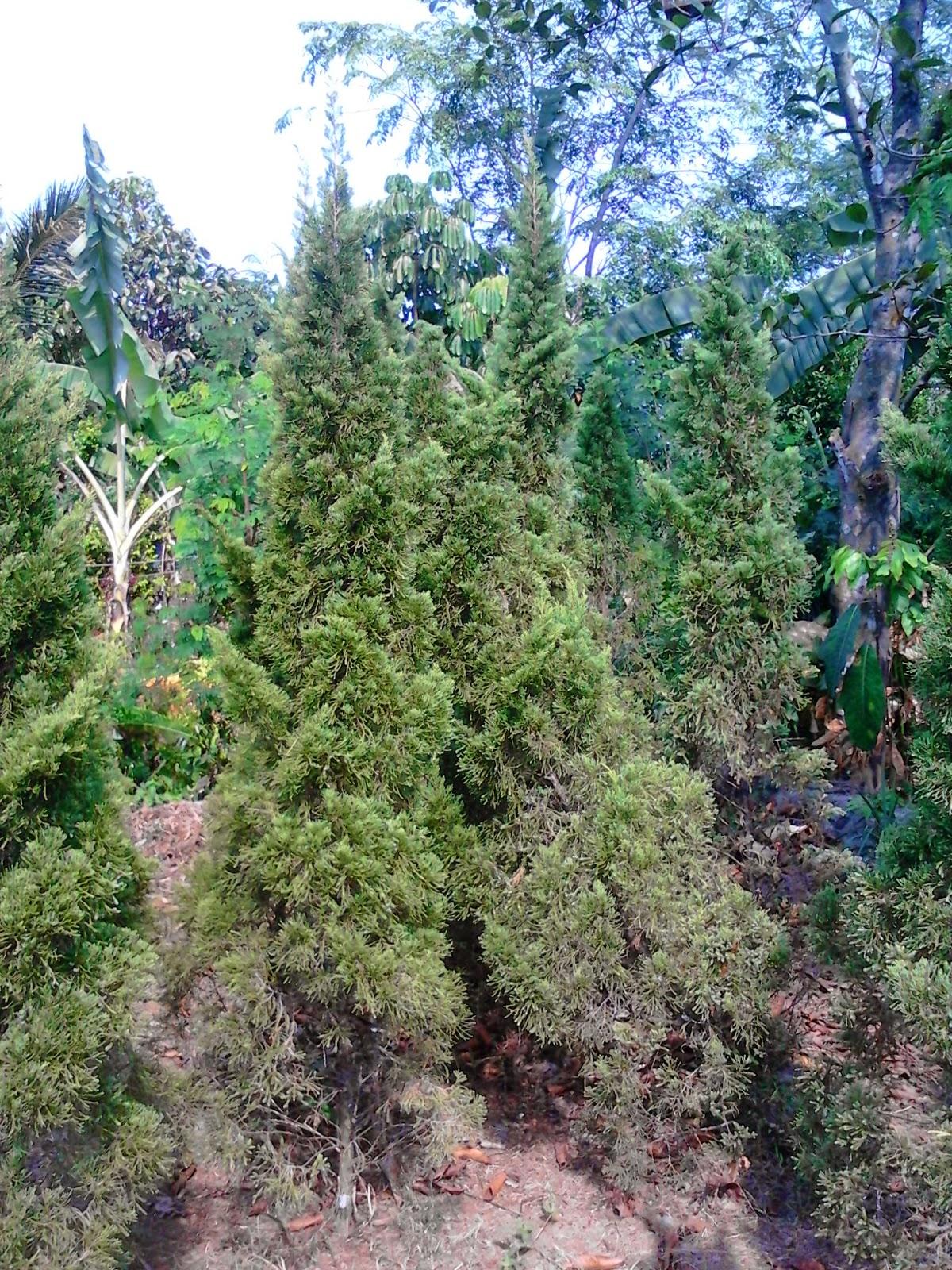 Jual Pohon Cemara Pua-Pua | Pohon Cemara Natal | Aneka Pohon Cemara