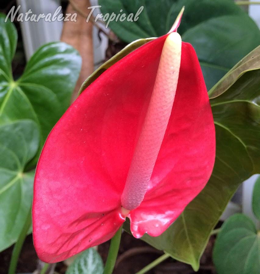 Inflorescencia de un Anturio, Anthurium andraenum