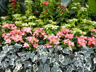 Allan Gardens Conservatory 2017 Christmas Flower Show poinsettias massed with variegated English Ivy by garden muses-not another Toronto gardening blog