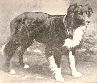 progenitor of the modern border collie Old Hemp